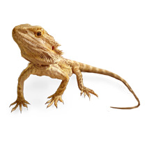 Bearded Dragon Care Sheet - Pogona vitticeps Care Sheet