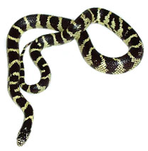 King Snake Care Sheets
