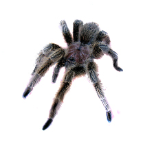 Chilean Rose Care Sheet - Grammostola rosea Care Sheet