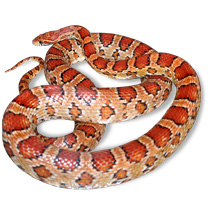 Corn Snake Care Sheets