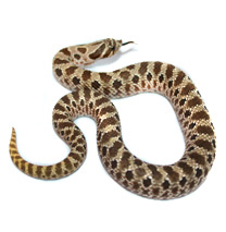 Honose Snake Care Sheets - Heteroden Care