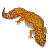Leopard Gecko Care Sheet - Eublepharis macularius Care Sheet