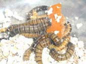 Mealworms eating a piece of carrot
