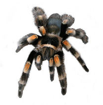 Mexican Red Knee Care Sheet - Brachypelma Smithi Care Sheet