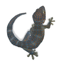 Tokay Gecko Care Sheet - Gekko Gecko Care Sheet