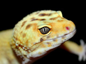 Leopard Gecko's head up close
