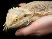 Bearded Dragon Being Handled