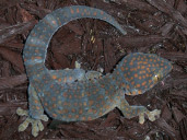 Tokay Gecko on Coco Bark Substrate
