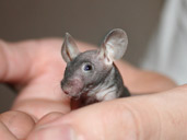 Hairless Mouse